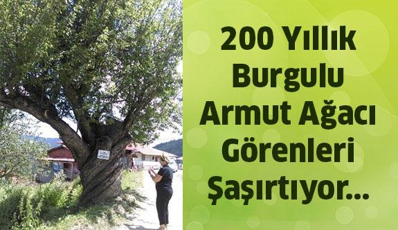 200 Yıllık Burgulu Armut Ağacı Görenleri Hayrete Düşürüyor...