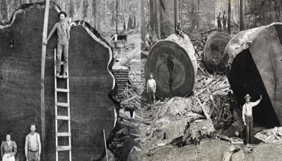 Yıllar Önce Kesilmiş Devasa Büyüklükteki Ağaçlar
