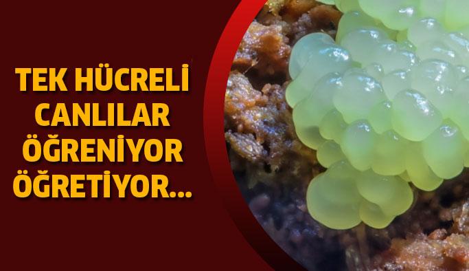 Tek hücreli canlılar öğrenebiliyor ve aktarabiliyor...