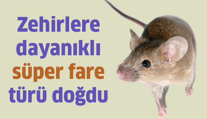 Zehirlere dayanıklı 'süper fare' türü doğdu