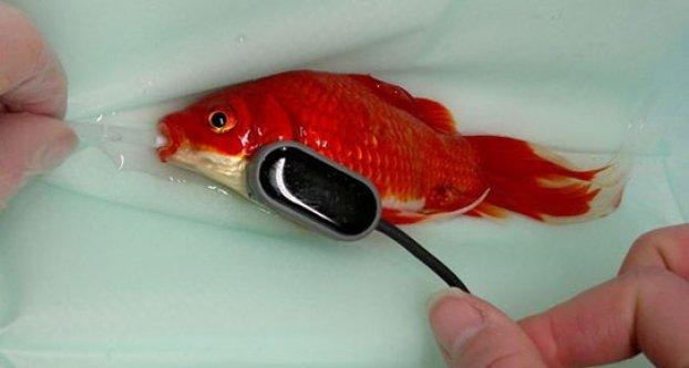 Balığını ameliyat ettirmek için..