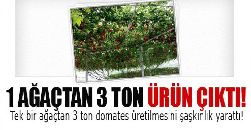 Çin'deki domates ağacı 3 ton ürün veriyor