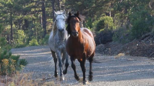 Efsane Osmanlı atları görüntülendi