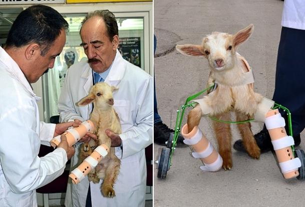 Felçli oğlağaprotez taktılar