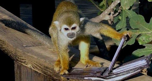 Hırsız maymunun yaptığına bakın..