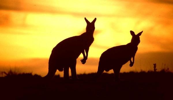 Kanguru'nun Anlamı İle İlgili Bir Efsane!