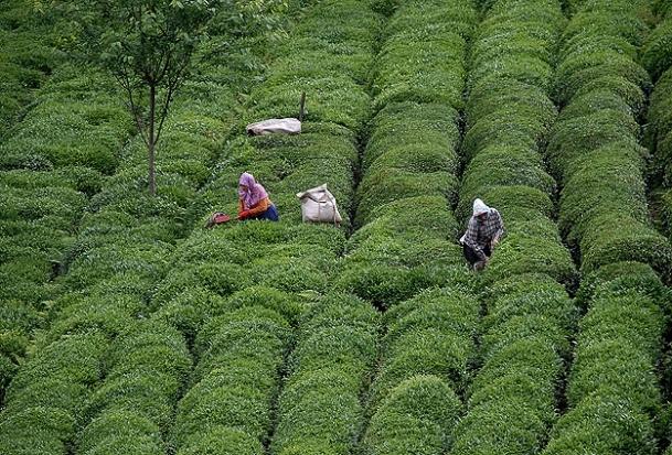 Karadeniz'de çay sezonuyla yüzler gülüyor