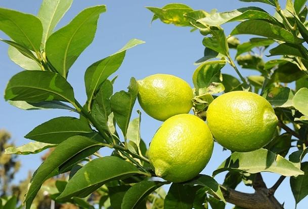 Limon üreticinin yüzünü ekşitmedi