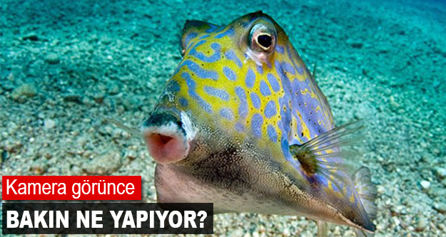 Narsist balık fenomen oldu! Dayanamıyor..
