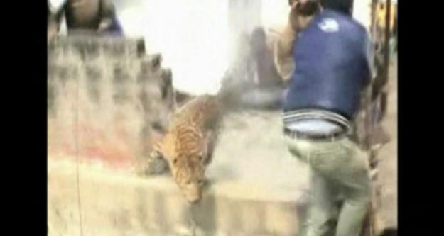Saldırgan leopar yakalanamadı!
