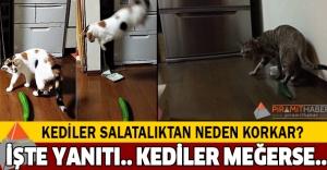 Kedilerin neden salatalıktan korktukları ortaya çıktı!