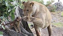 Öldürdüğü şempanzenin yavrusunu görünce bakın ne yaptı!