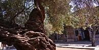 Bu Ağaç 1350 Yaşında !