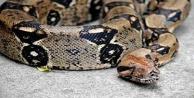 Piton yılanı 2 çocuğu öldürdü !