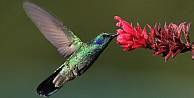 Sinek kuşu ve türleri