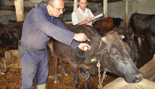 Yozgat'ta 210 bin büyükbaş hayvana şap aşısı yapılacak