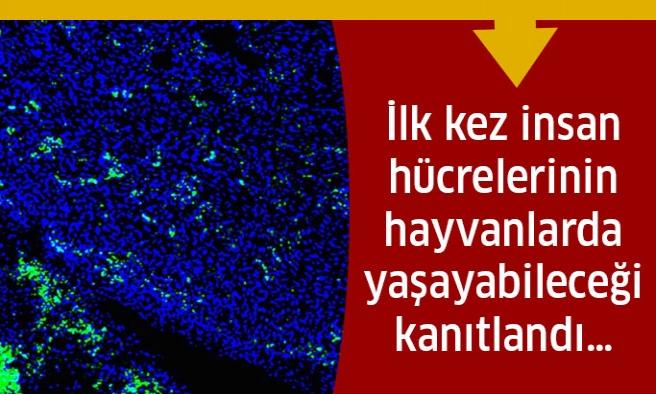İnsan Hücrelerinin Hayvanlarda Yaşayabileceği İspatlandı!
