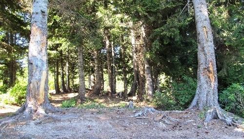 Çıra için çam ağaçlarına zarar verenlerin de çırası yanacak
