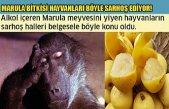 Marula Bitkisi Hayvanları Böyle Sarhoş Ediyor!
