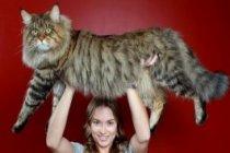İşte En Büyük Beş Kedi Irkı Ve En Uzun Kuyruklu Kedi...