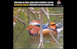 Mandarin Ördeğini Görenler Hayran Kalıyor!