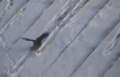 Kayak yapan karga!