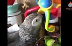 Kedi ve Maymun Taklidi Yapan Papağan