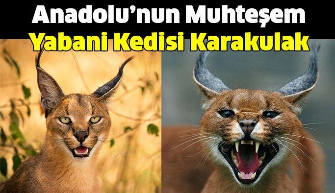 Anadolu'nun Muhteşem Yabani Kedisi Karakulak