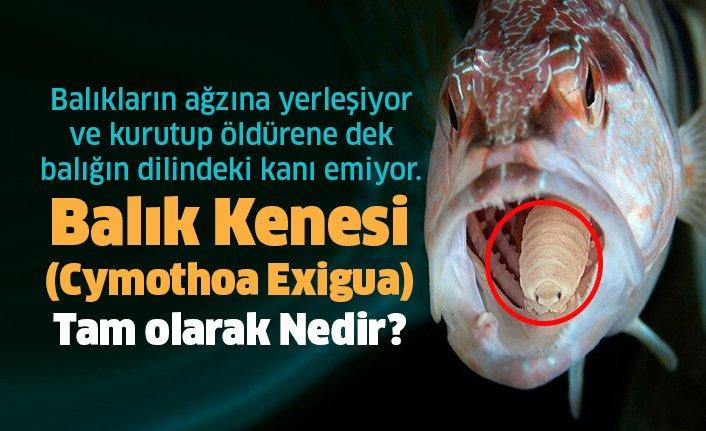 Balık Kenesi - Cymothoa Exigua Nedir?